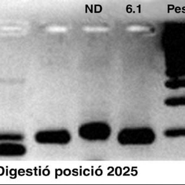 Gel de la digestió (Autor: Grup de recerca en Osteobiografia. Universitat Autònoma de Barcelona)