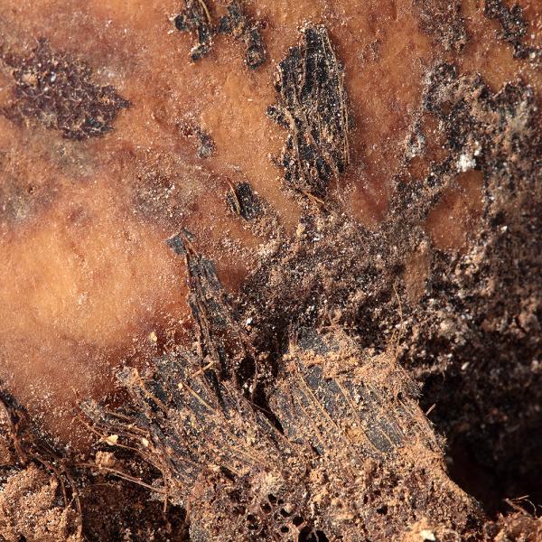 Restes de cuir cabellut al crani (Autors: Carles Aymerich i Ramon Maroto Centre de Restauració de Béns Mobles de Catalunya)