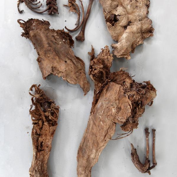 Restes d'un mateix individu amb gran part del cos momificat (Autors: Carles Aymerich i Ramon Maroto Centre de Restauració de Béns Mobles de Catalunya)